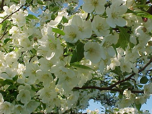 White_blossoms_closeup_IV