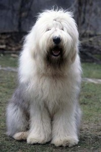 Oldenglishsheepdog
